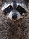 Raccoons are Rocky